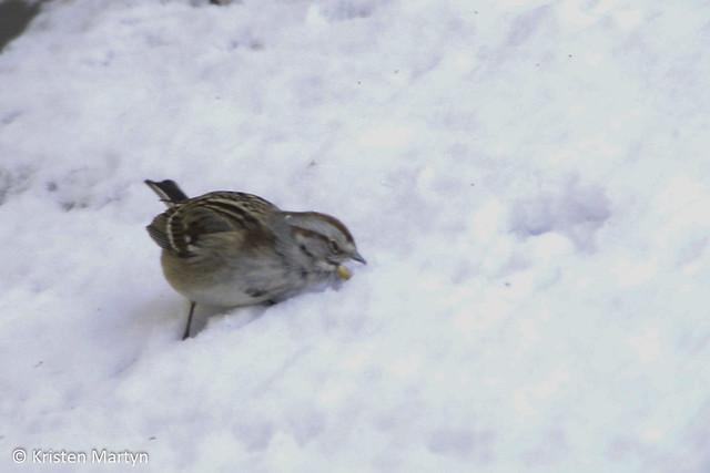 American Tree Sparrow (Spizella arborea)- Eating Snow