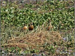Lesser Whistling Duck Nesting