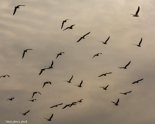 sunset seagulls nature birds silhouette unitedstates sundown dusk flock southcarolina lakemurraysc