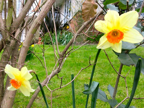 Neighbourhood Daffodils