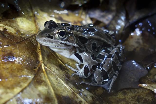 DSC01023-leopard frog