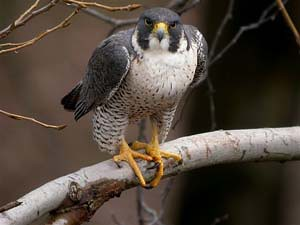 The Hilliard Rd. Bridge Peregrine