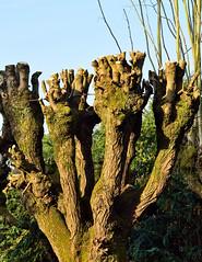 Vieilles branches
