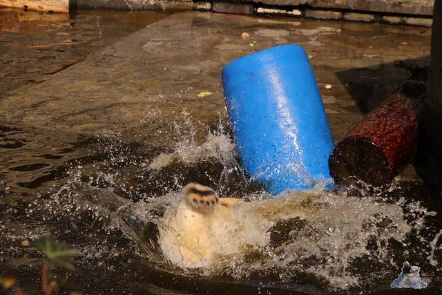 Eisbär Fiete im Zoo Rostock 16.04.2016  229