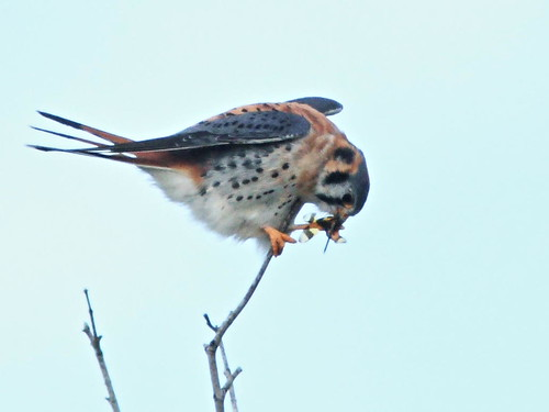 American Kestrel eating dragonfly 04-20160322