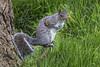 Grey Squirrel Hyde Park 2016-04-30 (6D_2158)