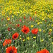 Poppies & Crown Daisies, Paphos archaeological site (Heather Osborne)