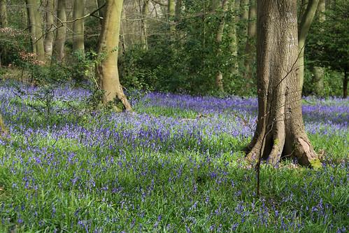 Bluebells in Lambridge Wood
