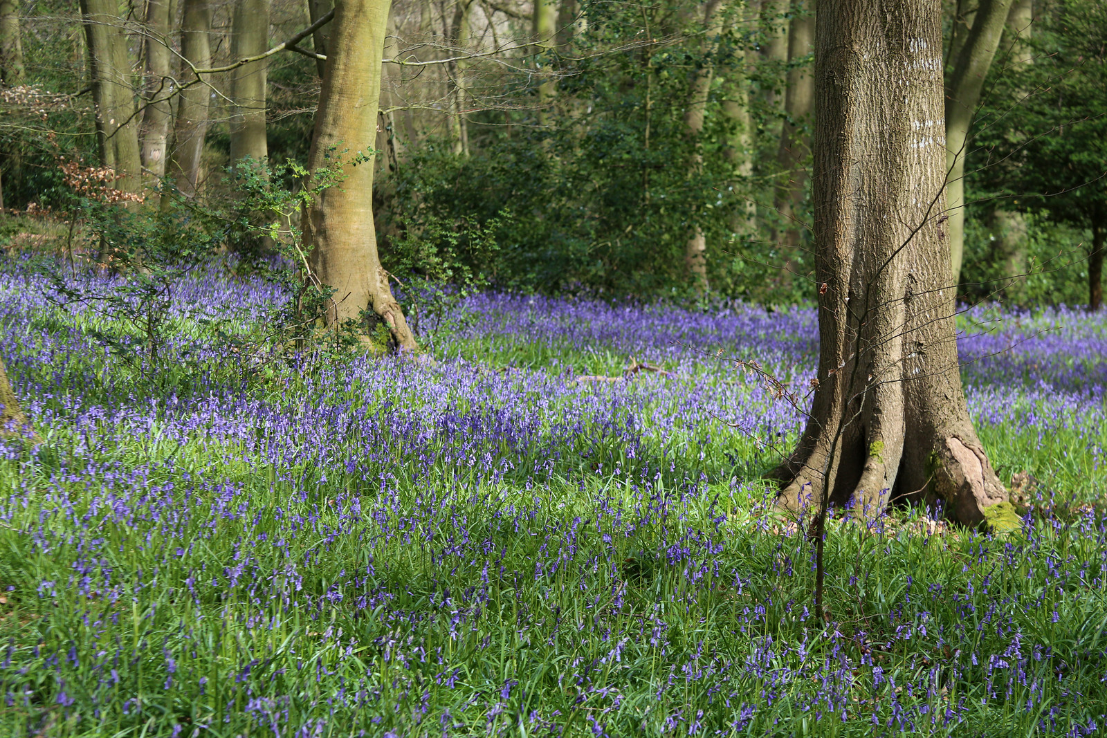 Bluebells in Lambridge Wood