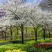 keukenhof Park - Netherlands by Dregster