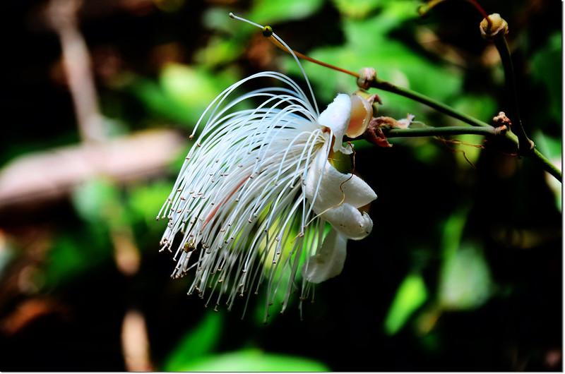 山柑(花) 1