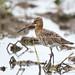Maçarico bico direito   Limosa Limosa   Black tailed godwit