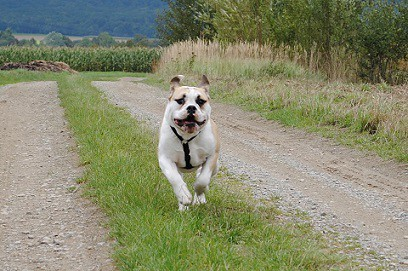 shrek - englische bulldogge