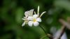 Frangipani Flower. - Sri Lanka