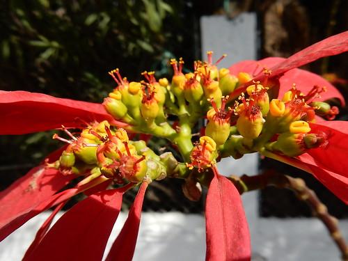 Cholula - bloem