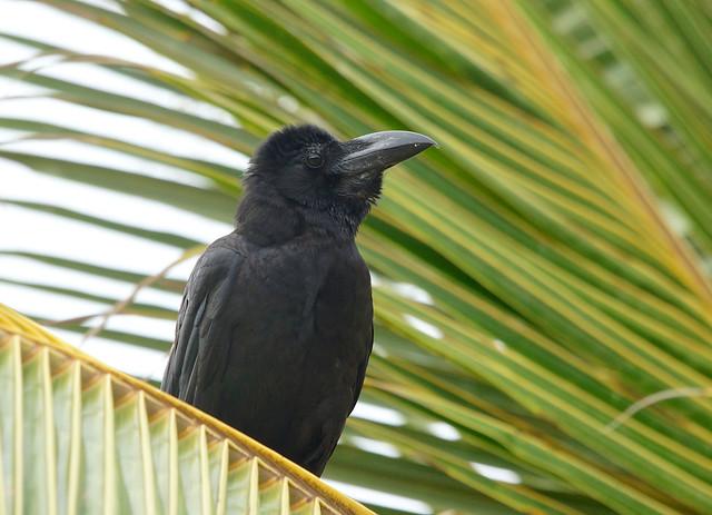 Large-billed /Jungle Crow------Corvus macrorhynchos