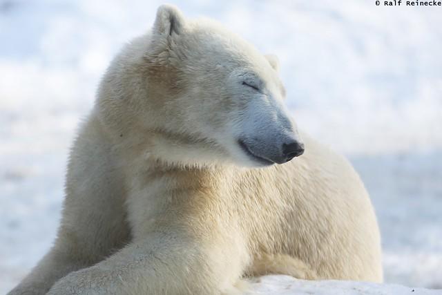 Polar Bear - Zoo München Hellabrunn January 2016 17