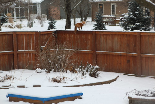 Backyard Fox Invasion
