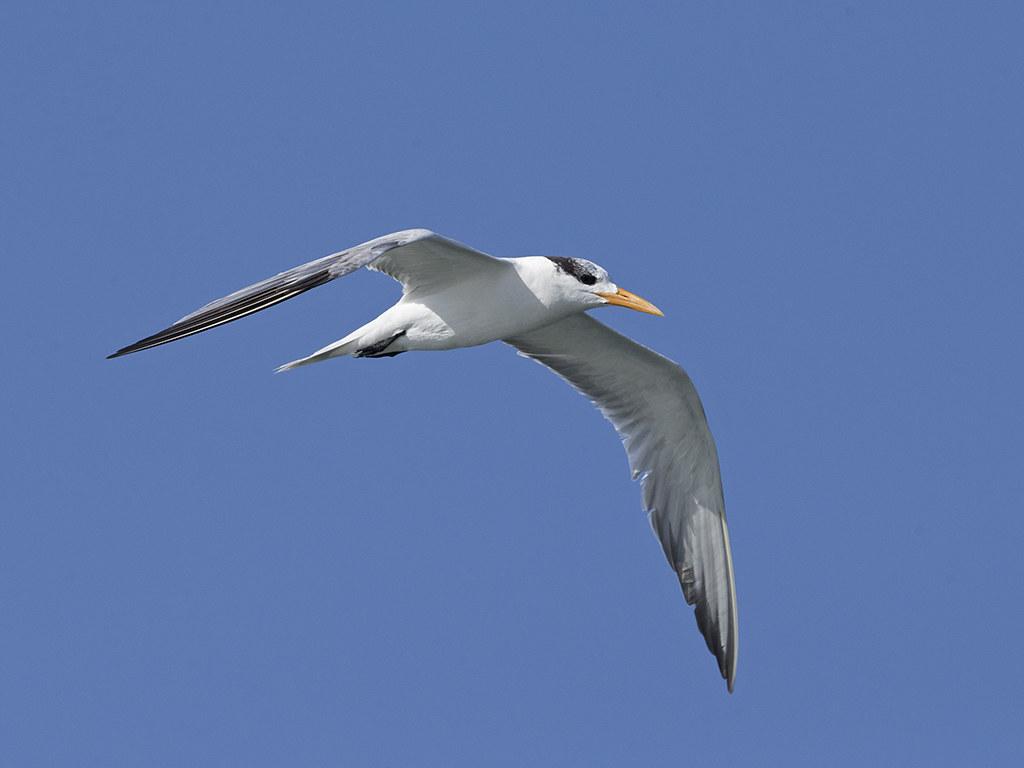 Royal Tern  Cuba