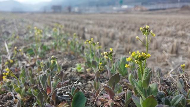 아침산책길 | 봄꽃풍경 - 꽃다지