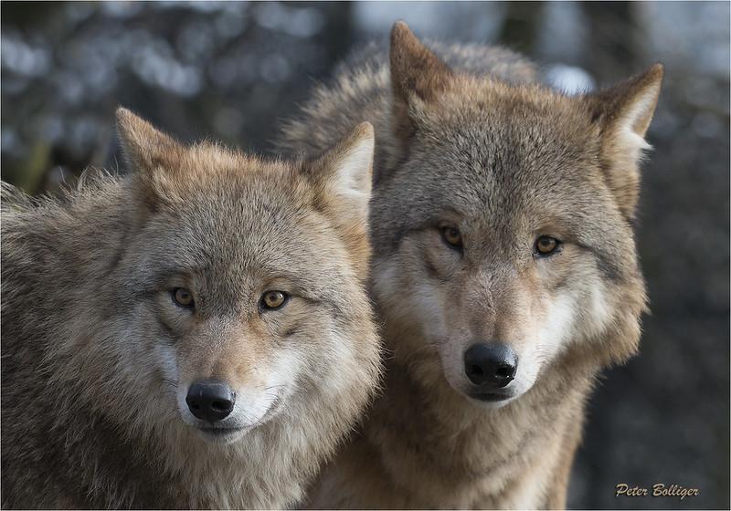 Mongolian wolves