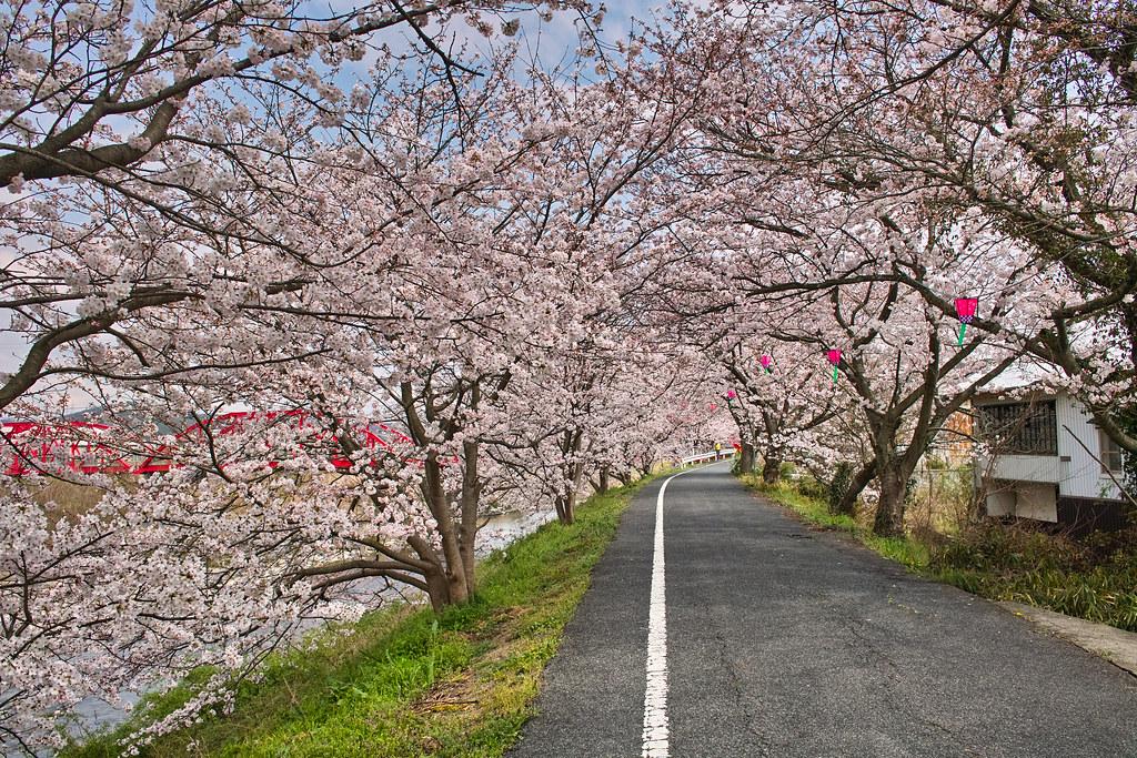 井原堤の桜