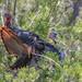 Wild Turkey - Deep Cedar Thicket Strut by Rob Zabroky