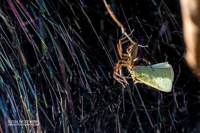Nursery web spider (Dendrolycosa sp.) - DSC_7820