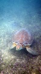 Turtles Akumal Bay Playa Yucatan Peninsula Mexico