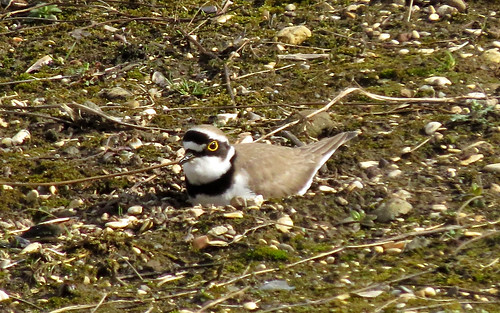 Little Ringed Plover Charadrius dubius Tophill Low NR, East Yorkshire April 2016