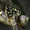 Ini adalah ular yang bersarang pada pohon sawo di kuil ular, Penang, Malaysia.  Kuil Ular atau dalam bahasa melayu adalah Tokong Ular merupakan Kelenteng tua yang didalam nya terdapat berbagai jenis Ular berbisa dan sengaja di koleksi untuk mengisi sudut-