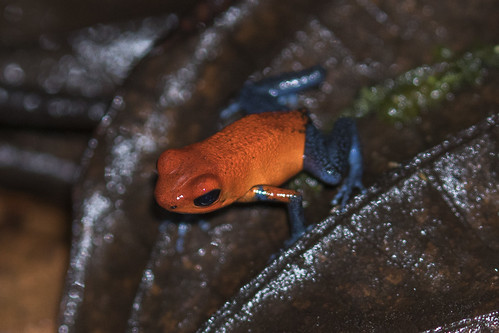 costarica frogs centralamerica northernlowlands amphybianothers
