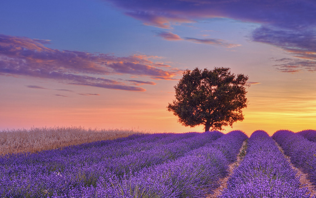 English Lavender field with tree at sunset, Valensole, Alpes-de-Haute-Provence, France