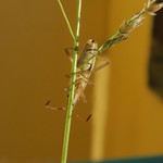 kurtaszárnyú üvegpoloska - Myrmus miriformis