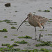 Long-billed Curlew - Numenius americanus - Monterey County, California, USA - April 14, 2006 by mango verde