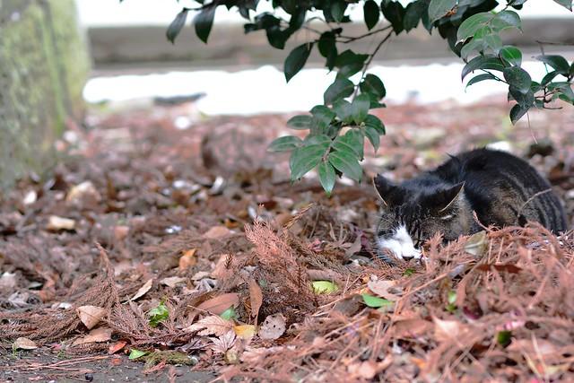 落ち葉にくるまって寝るネコ