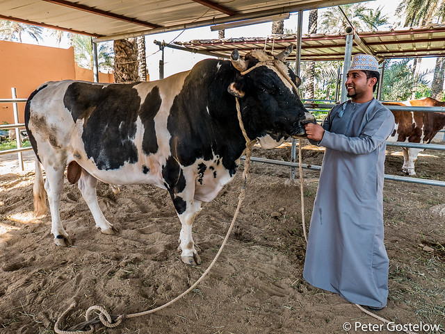 Ahmed and his fighting bull