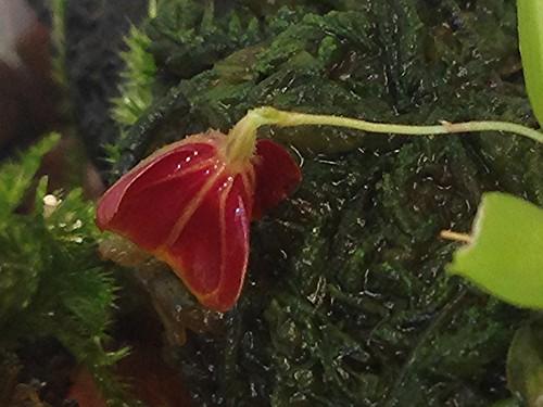 Lepanthes telipogoniflora bud, almost ready to open!