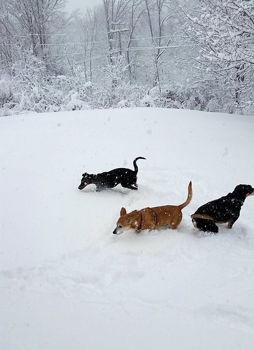 three dogs playing in the snow #LapdogCreations