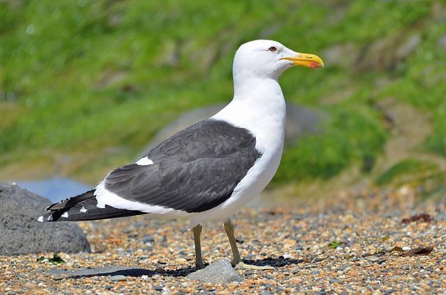 Southern black-backed gull (New Zealand)