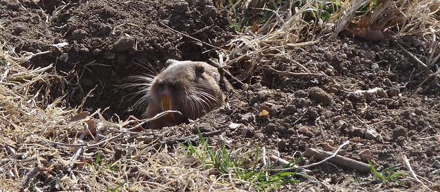 pocket gopher, unknown species, Prowers Co., Colorado