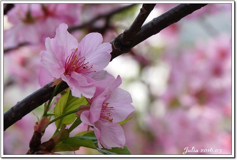麗池公園河津櫻 (3)
