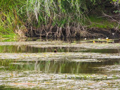 The New River: les oiseaux Jésus Christ, les oiseaux qui marchent sur l'eau