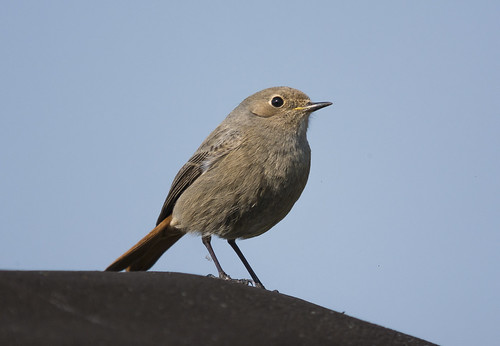 Black Redstart, Tempsford, 17th March 2016