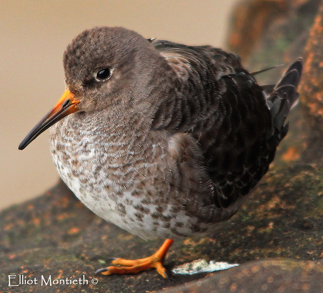 Elliot Montieth - The Purple Sandpiper (explored)