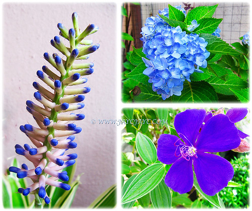 The calming blues (Aechmea gamosepala aka Variegated Matchstick Plant/Bromeliad, Blue Hydrangea and Tibouchina urvilleana) at our front yard, March 19 2016