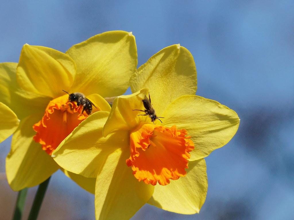Premières abeilles - First bees