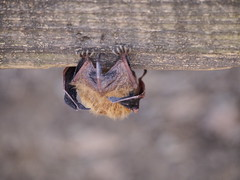 Bat Booty