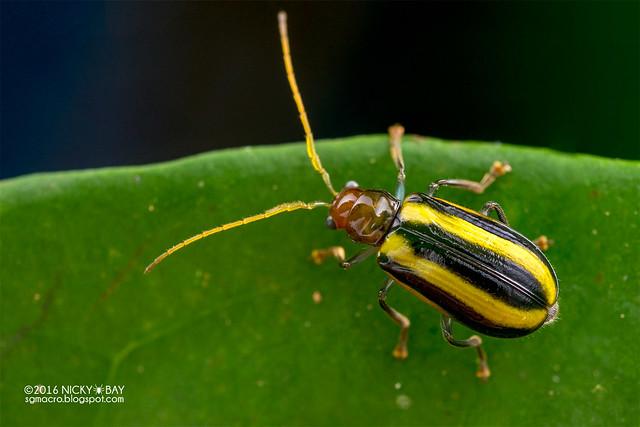 Leaf beetle (Chrysomelidae) - DSC_6403