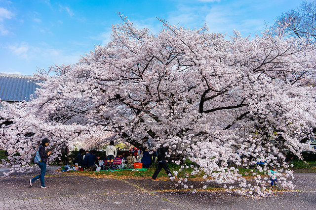 CherryBlossoms_112